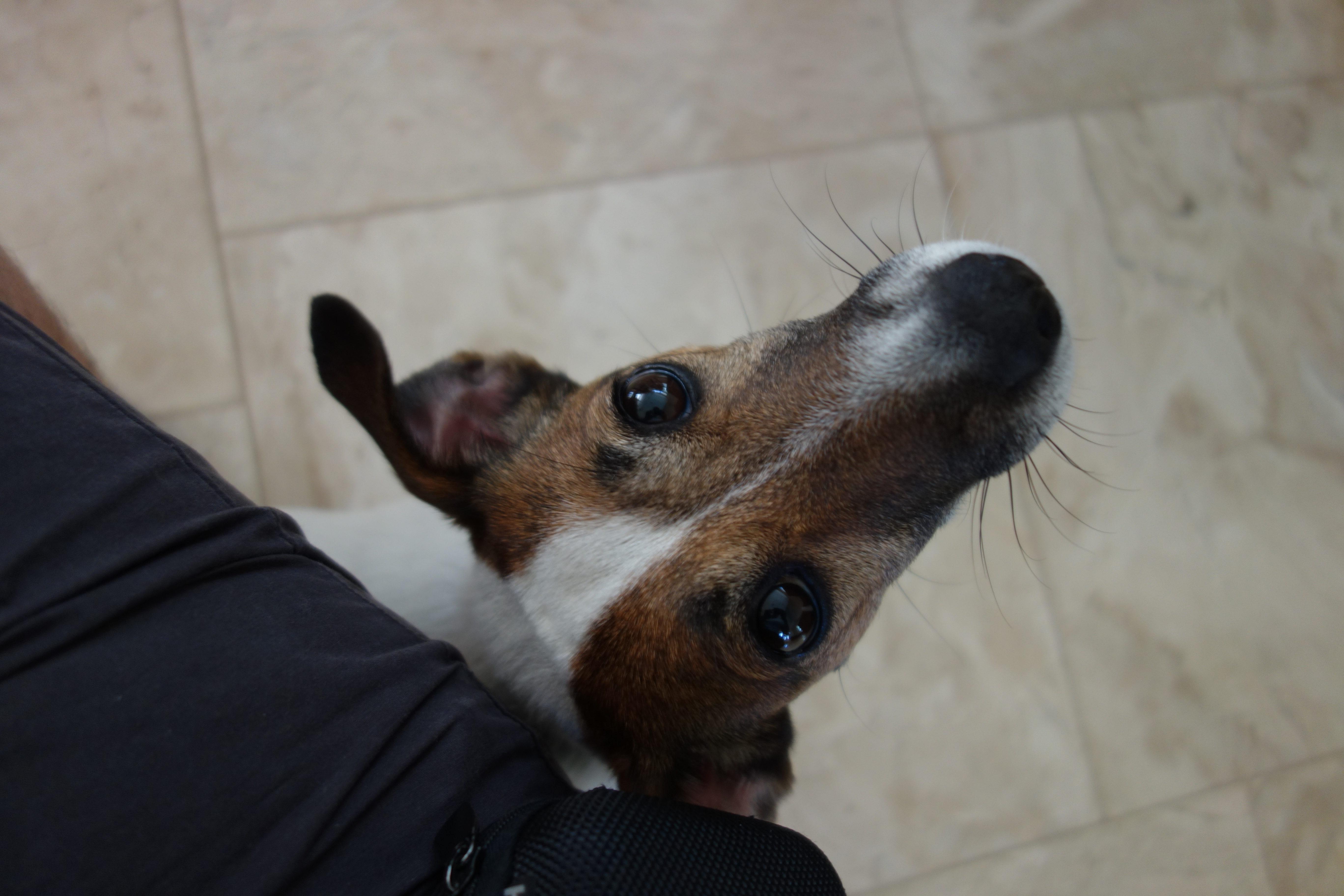 Jack Russel Terrier Maggie